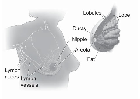 Cette illustration montre les lobes et les conduits à l