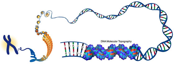 This illustration depicts DNA packed tightly into chromosomes, as well as a DNA molecule unwound to reveal its 3-D structure. Credit: Darryl Leja, NHGRI