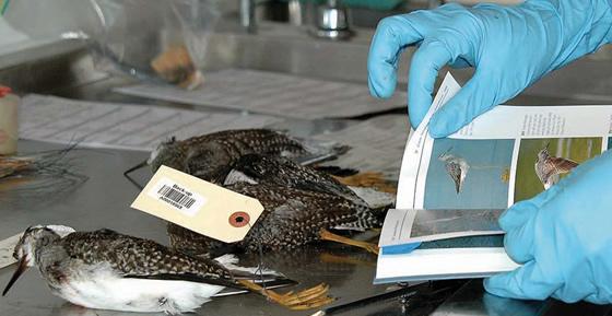 Muestreo para la gripe aviar