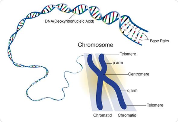 Image Credit: genome.gov