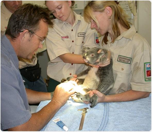 A koala in the cryopreservation program in Queensland, Australia