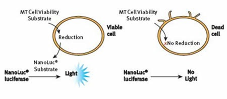 The RealTime-Glo® MT Cell Viability Assay Principle