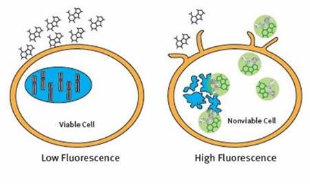 The CellTox™ Green Cytotoxicity Assay Principle