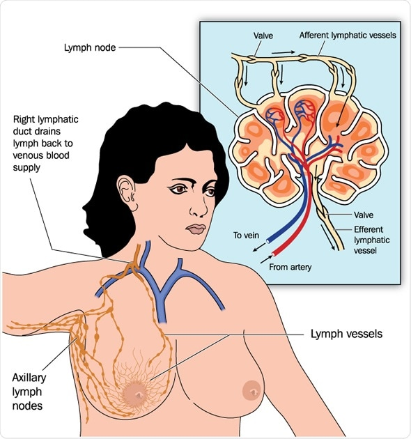 Drawing of female breast lymph drainage - Image Copyright: Blamb / Shutterstock