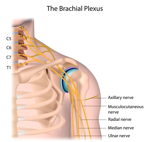 Nerves of the brachial plexus labeled. - Image Copyright: Alila Medical Media / Shutterstock