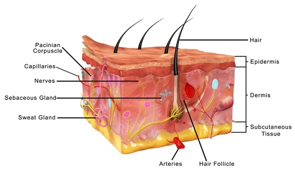 Ejemplo de la anatomía 3d de la piel - derechos de autor de la imagen: sciencepics/Shutterstock