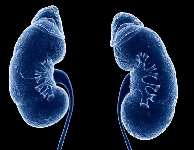 3D Rendered Illustration Human Kidneys   Sebastian Kaulitzki 0ca56cd511b54712b78c51b21af2a530 620x480