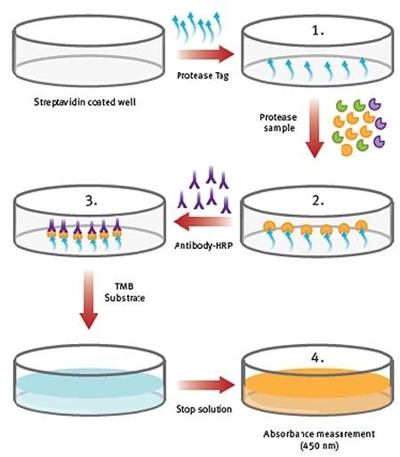 Procedure overview of ProteaseTagTMActive Neutrophil Elastase Immunoassay.