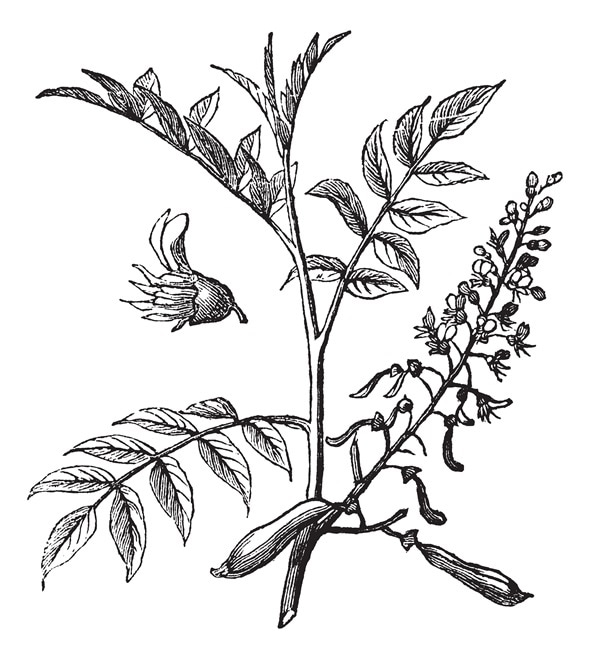 Peru Balsam or Myroxylon peruiferum, vintage engraved illustration. Trousset encyclopedia (1886 - 1891).