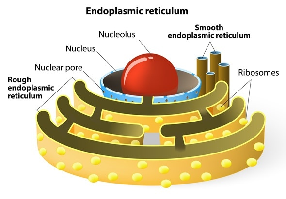 Endoplasmic reticulum is a continuous membrane, which is present in both plant cells, animal cells and absent in prokaryotic. Image Copyright: Designua / Shutterstock