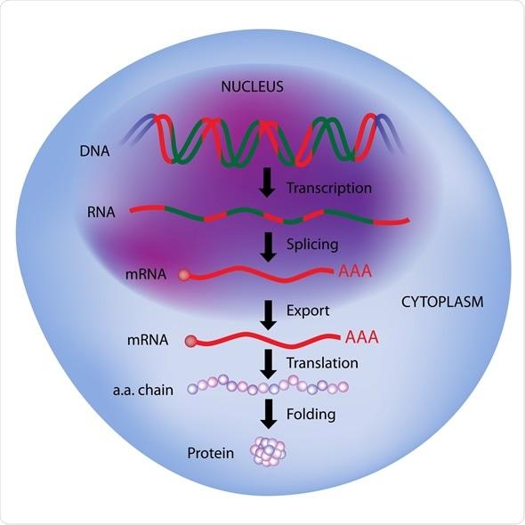 Gene expression, central dogma of molecular biology - Image Copyright: Alila Medical Media / Shutterstock