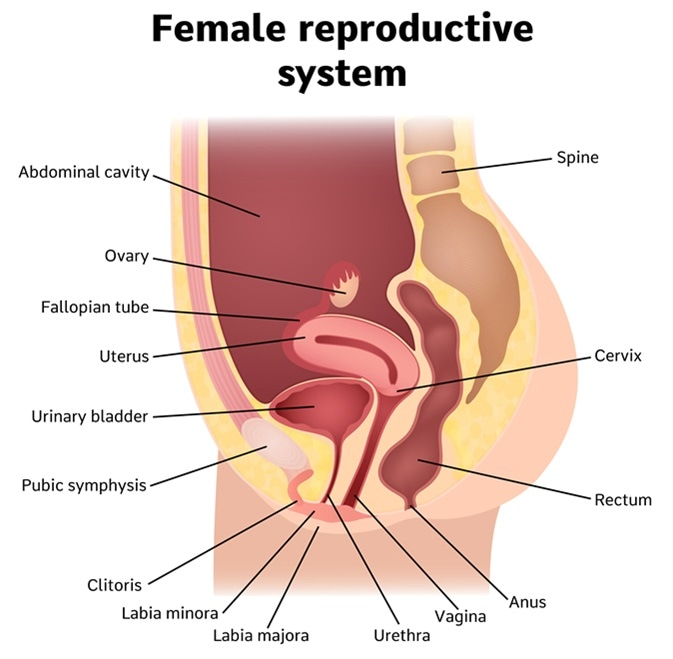 Female internal genital organs sectional, structure of the female reproductive system. Image Credit: Marochkina Anastasiia / Shutterstock