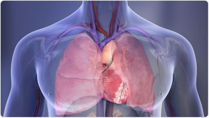 Illustration humaine de cavité de poitrine : Poumon droit, poumon gauche, coeur. Droit d