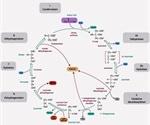 Citric Acid Cycle Regulation