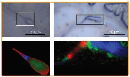 White light and Raman images of spermatozoa