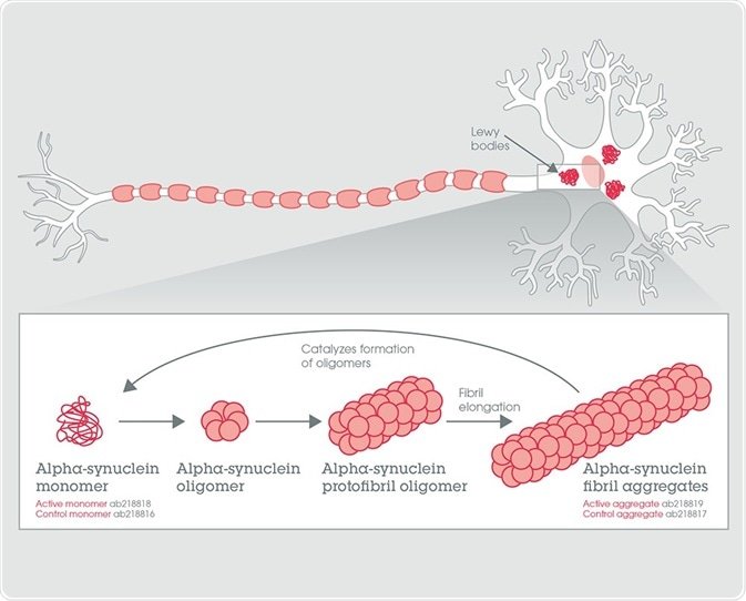 Alpha-synuclein fibril aggregate formation from the monomeric form.