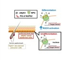 Study provides insights into molecular mechanisms regulating cellular fate of SCCs