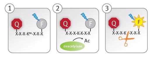 Schematic illustration of the lysine deacetylase assay principle.