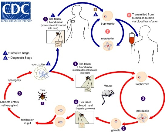 The Babesia microti life cycle involves - image and information courtesy of DPDx / CDC