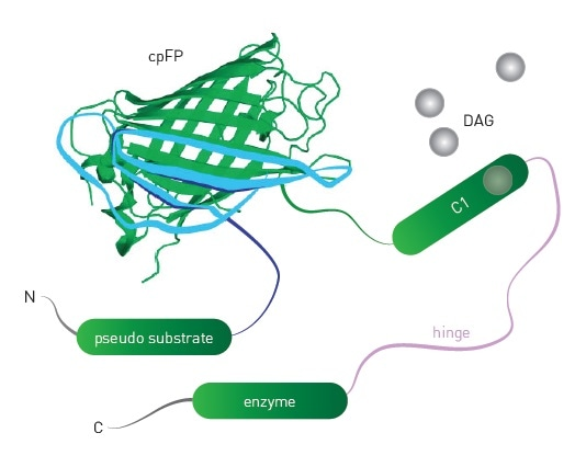 Schematic of DAG sensor. Upon binding DAG, the sensor undergoes conformational changes that lead to changes in fluorescence intensity of the engineered sensor.