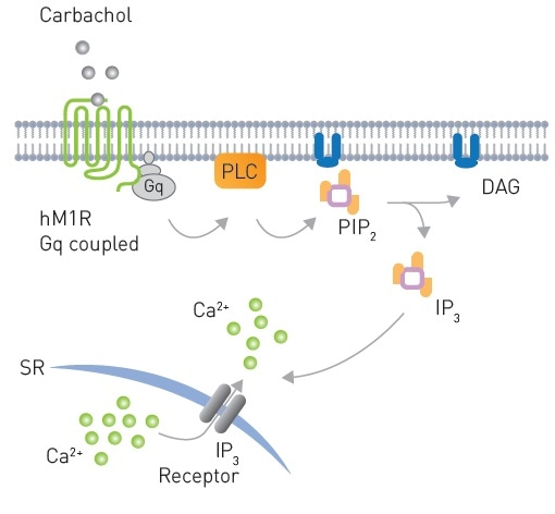 Signaling from a Gq coupled receptor to PLC after Carbachol stimulation leading to production of PIP2 and subsequently DAG production and Ca2+ mobilization.