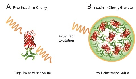 homoFRET-FP to detect packaging of insulin in dense core granules in live cells. A) Free insulin-mCherry with polarized excitation will exhibit conserved polarization and relatively high MP signal. B) Within dense core granule polarized light will exhibit homoFRET, randomized polarization and a decrease in MP signal4.