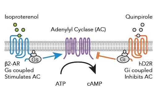 Signaling pathways from Gs and Gi coupled receptors to adenylyl cyclase after binding of either Isoproterenol or Quinpirole.
