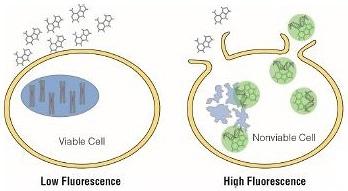 CellTox™ Green Cytotoxicity Assay