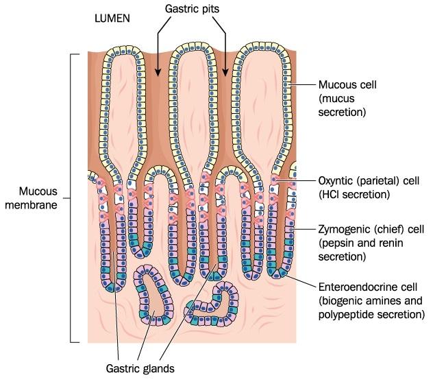 Huecos y casquillos del prensaestopas gástricos, más las células secretores del guarnición del estómago. Haber de imagen: Por Blamb/Shutterstock