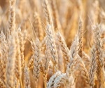 Study finds biological basis for gastrointestinal symptoms in people with non-celiac wheat sensitivity