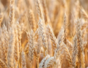 Scientists develop new processing method to extract valuable biomolecules from wheat bran