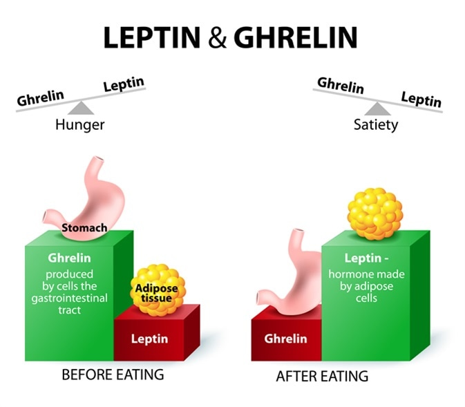 Leptin the satiety hormone. Ghrelin the hunger hormone. When ghrelin levels are high feel hungry. After eat, ghrelin levels fall and we feel satisfied. Image Credit: Designua / Shutterstock