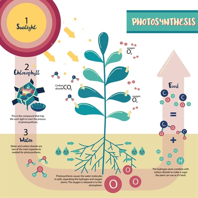 Photosynthesis process diagram illustration vector design. Image Credit: tuksaporn rattanamuk / Shutterstock
