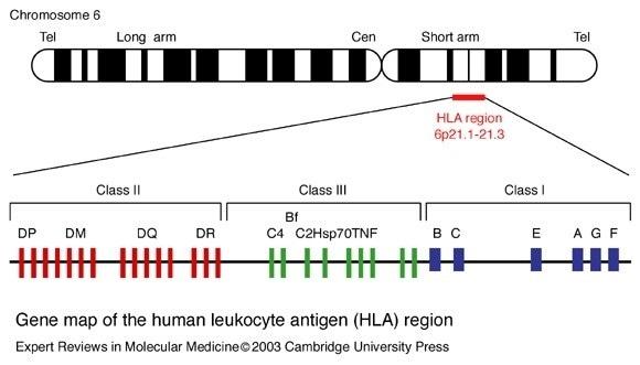 Gene map of the human leukocyte antigen (HLA) region.