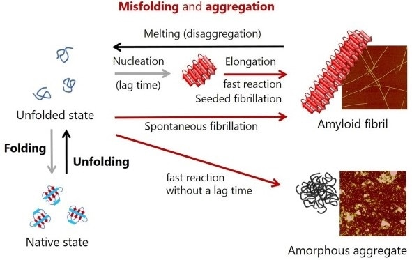 Schematic representation of conformational conversions by protein folding and protein misfolding-induced aggregation. Atomic force microscopy images of amyloid fibrils and amorphous aggregates are shown on the right.