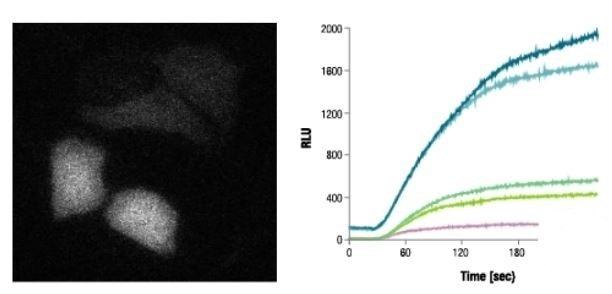 Rapid Signal Increase After Rapamycin Treatment
