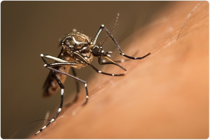 Aedes aegypti. Image Credit: Torres Garcia / Shutterstock