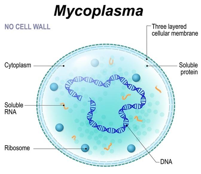 Structure de cellule de mycoplasme. la bactérie est l
