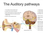 Pitch intonation in voices identified by special neurons