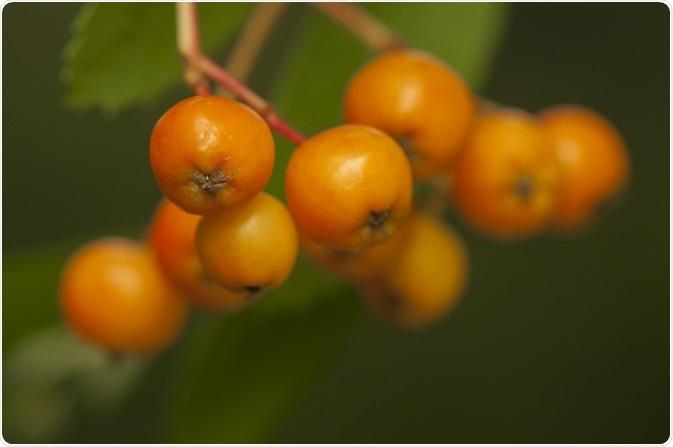 Aucuparia del Sorbus. Credito di immagine: Gucio_55/Shutterstock