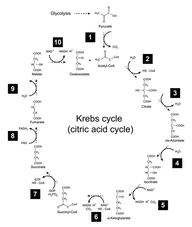 Plan chimique de cycle de Krebs - cycle (citrique) d