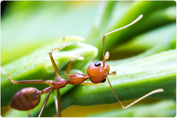 Red fire ant worker. Image Credit: Wnarong Shutterstock