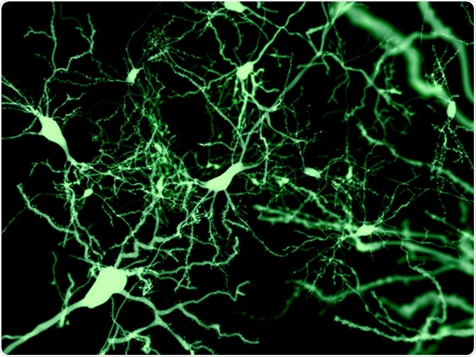 Neurons marked by fluorescence. Image Credit: Juan Gaertner / Shutterstock