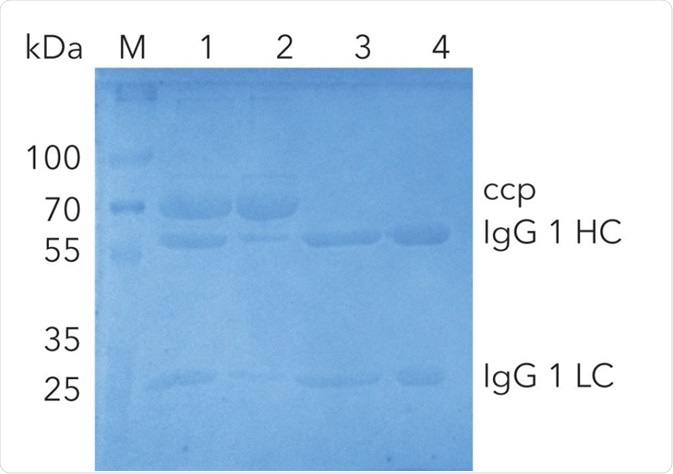 SDS-PAGE of IgG1 at different purification steps