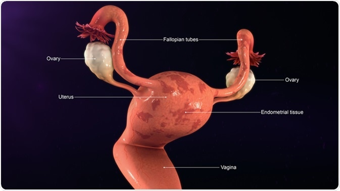 Ejemplo endometrial del tejido 3d. Haber de imagen: Sciencepics/Shutterstock