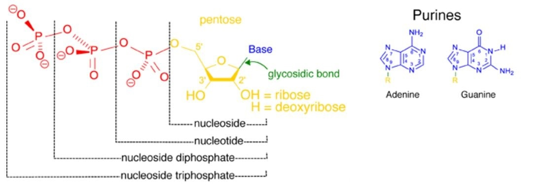 The structure of nucleotides depicting how the base and pentose sugar (nucleoside, in yellow blue and green) may be attached to either one, two or three phosphate groups.