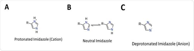 Cuadro 1 estados de Protonation de la histidina. (a) La forma de Protonated (catión), opera como forma neutral del ácido (b) general, opera mientras que (c) una forma nucleophile de Deprotonated (aninon) opera como base general.
