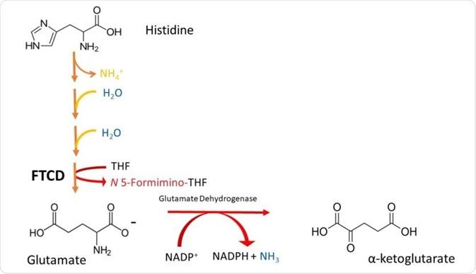 El cuadro 2 A simplificó el esquema que representaba la degradación de la histidina al  - cetoglutarato. Observe que la histidina deaminated (la baja de NH¬4), después ella se hidrata (adición de H¬¬2O en 2 pasos sucesivos), y su anillo del imidazol se hiende para formar el formiminoglutamate. FTCD entonces transfiere al grupo del formimino a THF, al glutamato de la producción y a N5-formiminotetrahydrofolate.