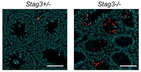 Hopkins J et al used BrdU-Red TUNEL Assay Kit ab66110 to examine apoptosis in testis from 8-week old Stag3+/− and Stag3−/− mice. Apoptotic cells are red. DAPI was used as a counterstain.