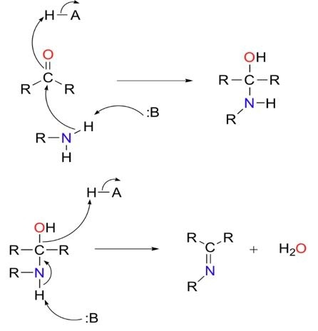 Figure 2 Imine formation. Mechanistically, imine formation is a two-step process. In step one (top) the amine attacks the carbonyl carbon. In step two (bottom), the nitrogen is deprotonated, and the oxygen of the carbonyl is eliminated as water.